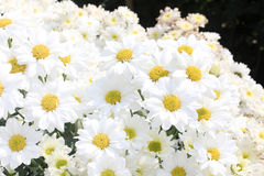White chrysanthemums  in the garden Stock Photo