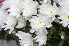 White chrysanthemums Royalty Free Stock Images