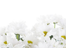 White Chrysanthemums Stock Images
