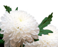 White chrysanthemums. Stock Photo