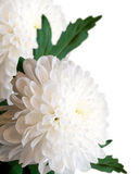 White chrysanthemums. Royalty Free Stock Photo