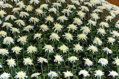 White chrysanthemums in Japanese greenhouse. Close-up. White chrysanthemums in Japanese greenhouse. Close-up Royalty Free Stock Image