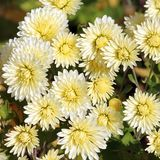 White chrysanthemums with lemon yellow tinge illuminated by the sun Stock Photo