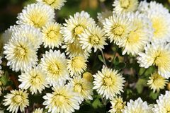 White chrysanthemums with lemon yellow tinge illuminated by the sun Royalty Free Stock Photos
