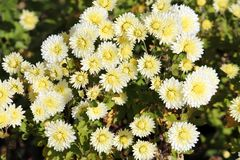 White chrysanthemums with lemon yellow tinge illuminated by the sun Stock Images