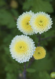 White chrysanthemums in the park.  Royalty Free Stock Photo