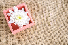 White chrysanthemums in pinkbox. Beautiful white flower in a paperbox Royalty Free Stock Image