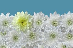 White chrysanthemums in row. On turn blue background stock image