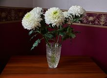 White chrysanthemums of spherical form with a green core in a crystal vase. Stand on a table. Russia, Moscow, holiday, gift, mood, nature, flower, plant Stock Photo