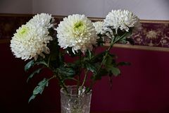 White chrysanthemums of spherical form with a green core in a crystal vase. Stand on a table. Russia, Moscow, holiday, gift, mood, nature, flower, plant Stock Photography