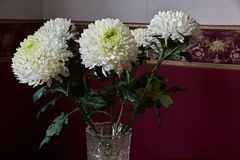 White chrysanthemums of spherical form with a green core in a crystal vase. Stand on a table. Russia, Moscow, holiday, gift, mood, nature, flower, plant Stock Images