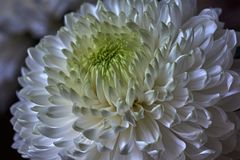 White chrysanthemums. Bud, petals, bouquet. White chrysanthemums are spherical in shape with a green core on a blurred background. Russia, Moscow, holiday, gift Royalty Free Stock Images