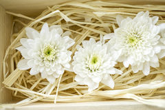 White chrysanthemums in wood box. White flower in a wooden box Royalty Free Stock Photography