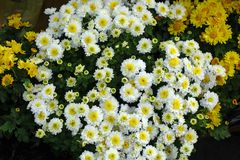 White chrysanthemums and yellow daisies royalty free stock photography