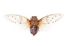 White cicada Ayuthia spectabilis isolated Stock Image