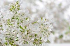 White Cilantro Flowers Close-Up Stock Photography