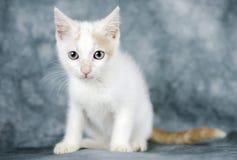 White and cinnamon kitten cat royalty free stock photo