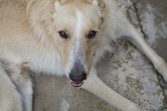 White and cinnamon wolf dog close up portrait while smiling. It is medium size Stock Image