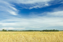White cirrus clouds on azure sky above yellow rye Stock Photography