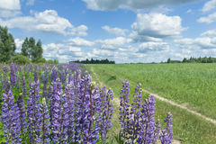 White cirrus clouds on blue daylight sky above farm field and lupine flowers Royalty Free Stock Images