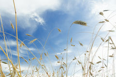 White cirrus clouds and blue sky above ripening. Barley cereal ears farm field Stock Images
