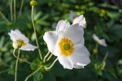White Cistus salviifolius stock photography