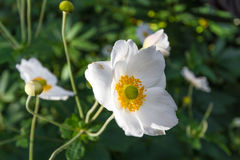 White Cistus salviifolius. In nature Stock Photography