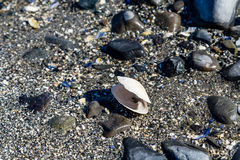 White Clam Shell on Black Beach Royalty Free Stock Photo
