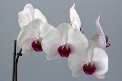 White and claret flower of an orchid Stock Photos