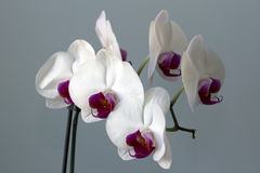 White and claret flower of an orchid Royalty Free Stock Photos