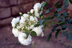 A Beautiful Small White Roses Flower In Garden. White is a classic symbol of perfection which means you should definitely plant some of these flowers in your stock photo