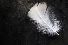 White clean delicate bird feather on black concrete stone background, contrast, purity, equilibrium. Top view Stock Photo