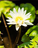 White Clean Lotus. Image in the pond Royalty Free Stock Photo