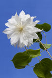 White Clematis. Close-up view of a White Clematis on a Blue background Royalty Free Stock Image