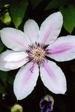White Clematis Royalty Free Stock Photo
