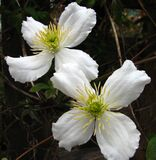 white clematis Royalty Free Stock Photography