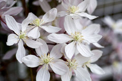White Clematis Blooming In Spring Stock Photography
