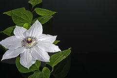 White clematis blossom and leaves at glossy black  Stock Photography