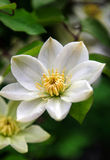 White Clematis Close Up Stock Photos