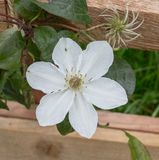 White clematis Destiny Royalty Free Stock Images