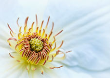 White clematis flower stock photography