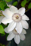 White clematis flowers Royalty Free Stock Images