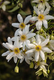 White clematis flowers Stock Image