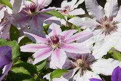 White clematis flowers. Pink and white clematis flowers Stock Photos