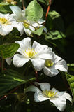 White Clematis flowers in summer Royalty Free Stock Photo