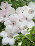 White Clematis John Paul II, lot of flowers. Stock Image