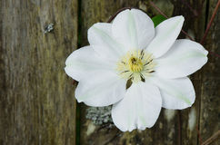 White Clematis Stock Photo