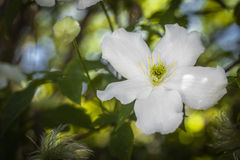 White Clematis. Royalty Free Stock Images