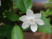 White clematis. Flower of South East Asia Stock Images