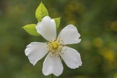 White climbing rose royalty free stock image